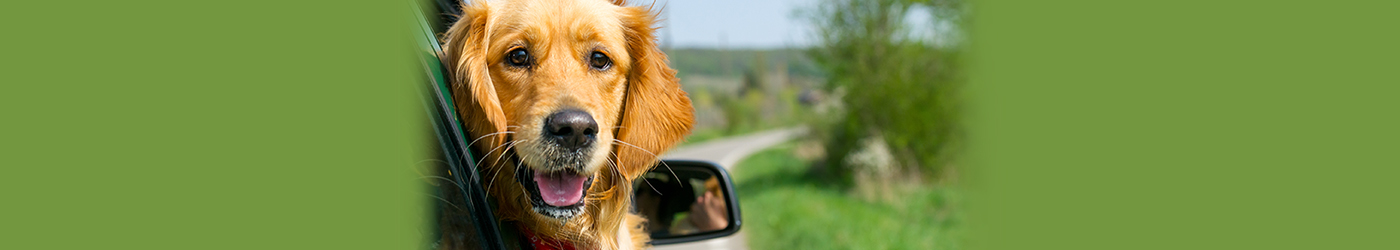 Golden Retriever dog in car